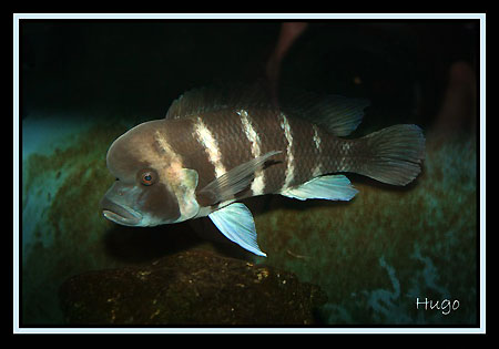 Cyphotilapia frontosa (photo Hugo Loisel).
