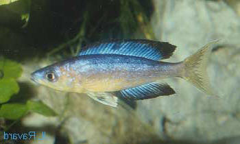 Cyprichromis microlepidotus 'Bulu point' (male).