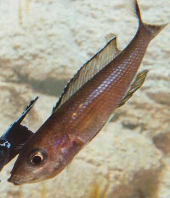femelle Kitumba en cour d'accouplement (Ch. Drone).