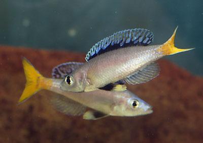 Cyprichromis leptosoma, mâles en parade.