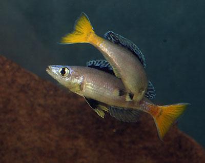 Cyprichromis leptosoma, bataille d'accessit.