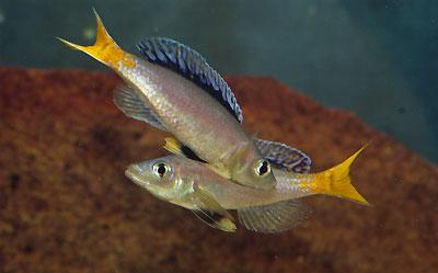 Cyprichromis leptosoma, males se toisant.