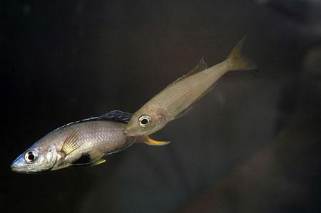 Cyprichromis leptosoma, femelle captant la semence.
