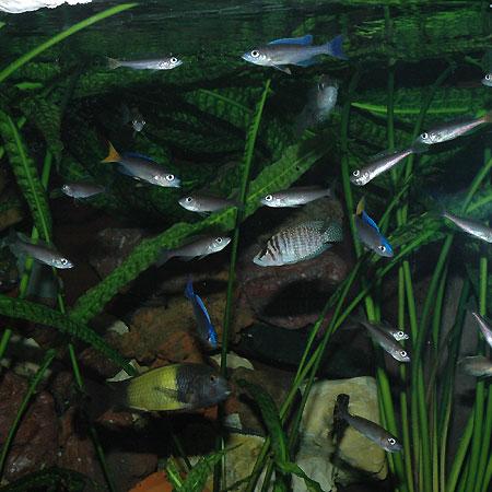 Cyprichromis leptosoma, en aquarium de cichlidés du lac Tanganyika.