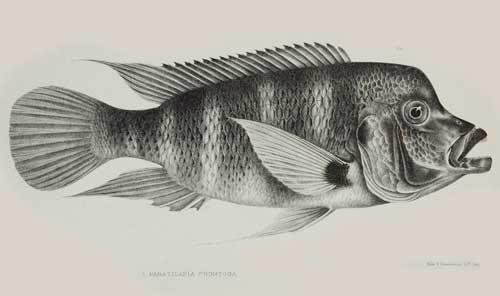 Cyphotilapia frontosa (Kigoma) | planche de Boulenger.