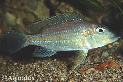 Gnathochromis permaxillaris.