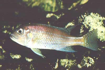 Cichlidé du lac Tanganyika   Limnochromis auritus.