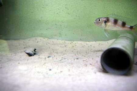 Alevins nombreux et adulte Limnochromis auritus.