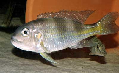 Limnochromis auritus.