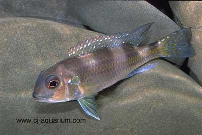 Limnochromis auritus au repos.