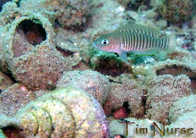 Neolamprologus multifasciatus in situ | Tanganyika cichlidé |
