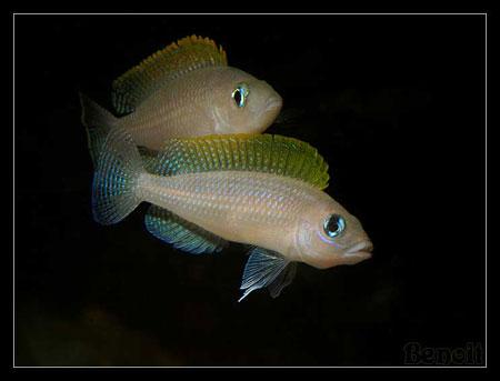 Neolamprologus caudopunctatus, couple paradant.