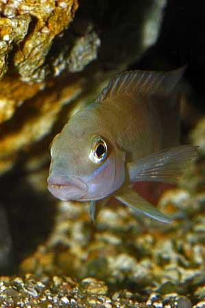 Neolamprologus mondabu de Kigoma (Tanzania).