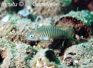 Neolamprologus multifascaitus in situ à Mbita en Zambie, par Eric Genevelle.