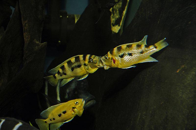 Neolamprologus sexfasciatus, forme jaune, combat entre mâles.