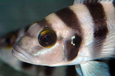 Neolamprologus sexfasciatus bleu, en aquarium.