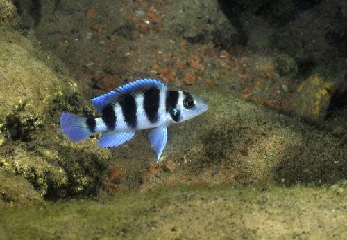 Neolamprologus tretocephalus à Bulu point.