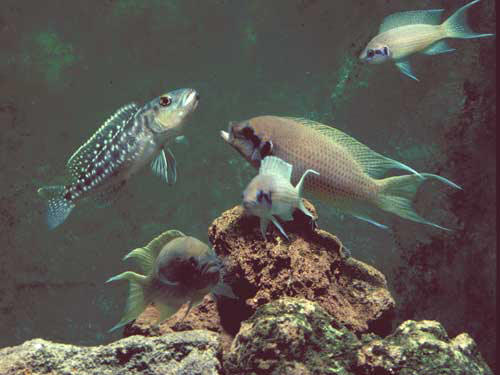 Neolamprologus brichardi et Lepidiolaprologus elongatus. (Michael Taborsky)