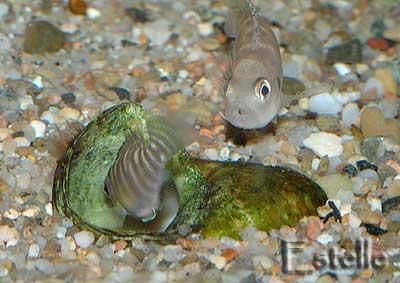 Neolamprologus brevis mâle en surveillance.