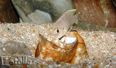 Neolamprologus brevis Chimba mâle.