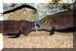 Couple de Neolamprologus pectoralis en cour de pariade