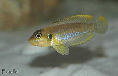 Neolamprologus ocellatus gold mâle
