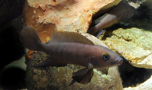 Neolamprologus pectoralis (couple en aquarium).