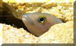 Neolamprologus pectoralis femelle