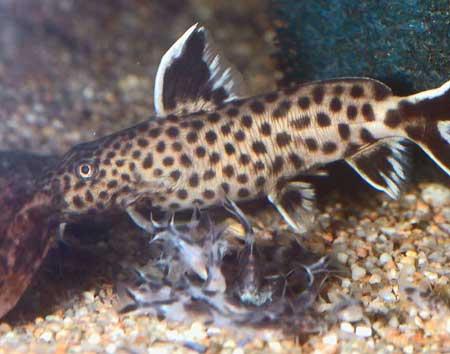 Regroupement d'alevins de Synodontis lucipinnis.