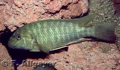 Petrochromis macrognathus.