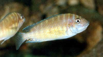 Petrochromis orthognathus (femelle en incubation).