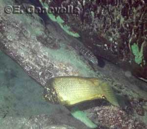 Petrochromis ephippium.