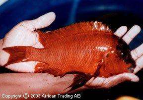 Petrochromis sp.
