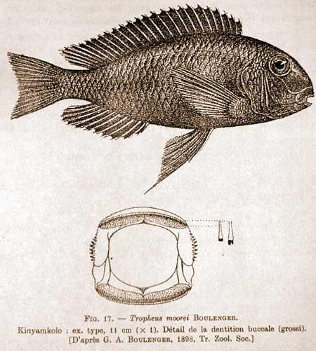 Planche de la description de Tropheus moorii | population de Kinyamkolo (Mpulungu) | (d'après Boulenger).