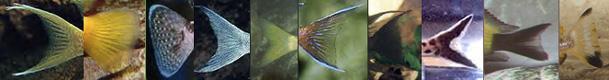 queues de poissons du lac Tanganyika 1