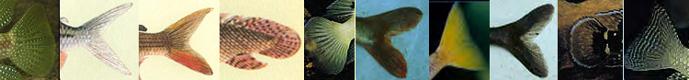 queues de poissons du lac Tanganyika 2