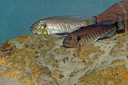 Triglachromis otostigma, individu raclant le fond à reculon pour trouver à manger.