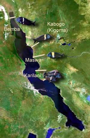 Tanganyika | répartition des Tropheus duboisi | cichlidé .