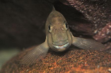 Spathodus marlieri, mâle dans sa position préfèrée sur une roche.