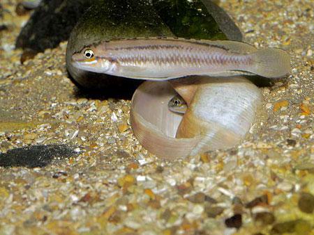 Telmatochromis bifrenatus (couple en aquarium).
