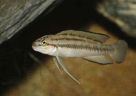 Telmatochromis bifrenatus, jeune male en aquarium.