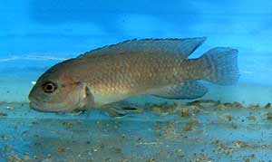 "Telmatochromis sp. temporalis ""shell"" (Zambie)."