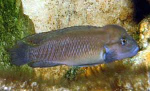 """Telmatochromis sp. temporalis """"shell"""" (femelle)."""