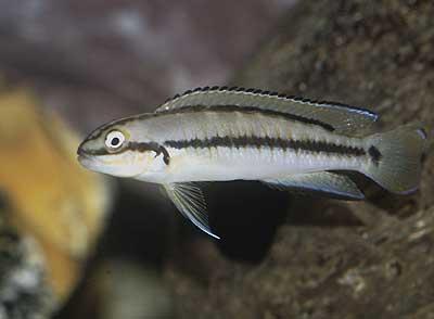 Telamtochromis vittatus | femelle adulte.