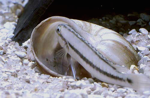 Telamtochromis vittatus, femelle gradant ses alevins proches de la nage libre.