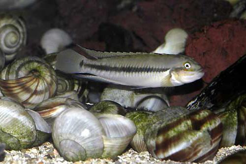 Mâle Telmatochromis vittatus sur son territoire.