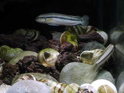 Telmatochromis vittatus, mâles dominant chassant le dominé.