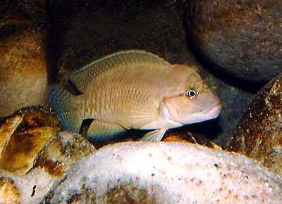 Telmatochromis sp. temporalis shell