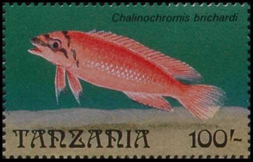 Chalinochromis brichardi, cichlidé du lac Tanganyika, Tanzanie.