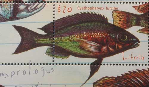 Cyathopharynx furcifer, d'après Boulenger.